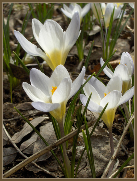 Muita sipulikasveja - Other bulb plants