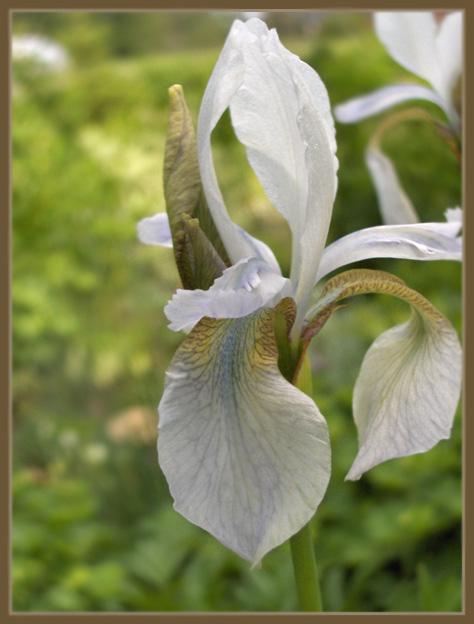 Iris - Kurjenmiekat