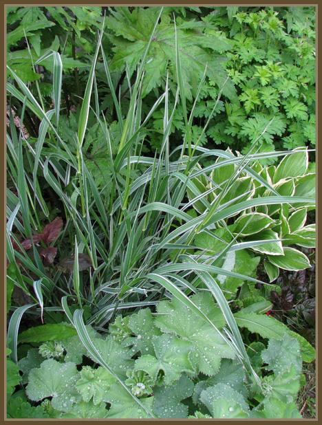 Koristeheinät - Grasses