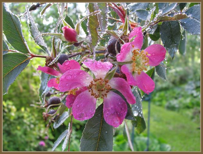 Rosa - Ruusut