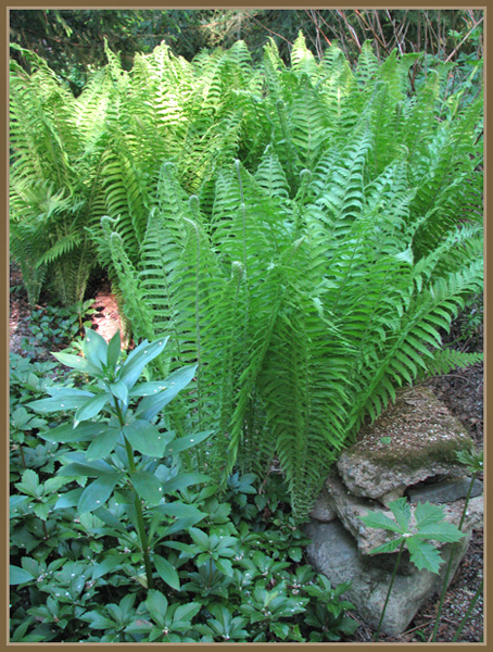 Saniaiset/Ferns